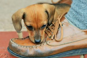 Puppy chewing on leather shoe